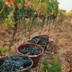 vendanges 2020 seaux de raisins au milieu des vignes